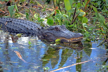 alligator-wildlife-florida