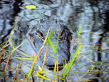 Everglades Alligator Tours Kissimmee